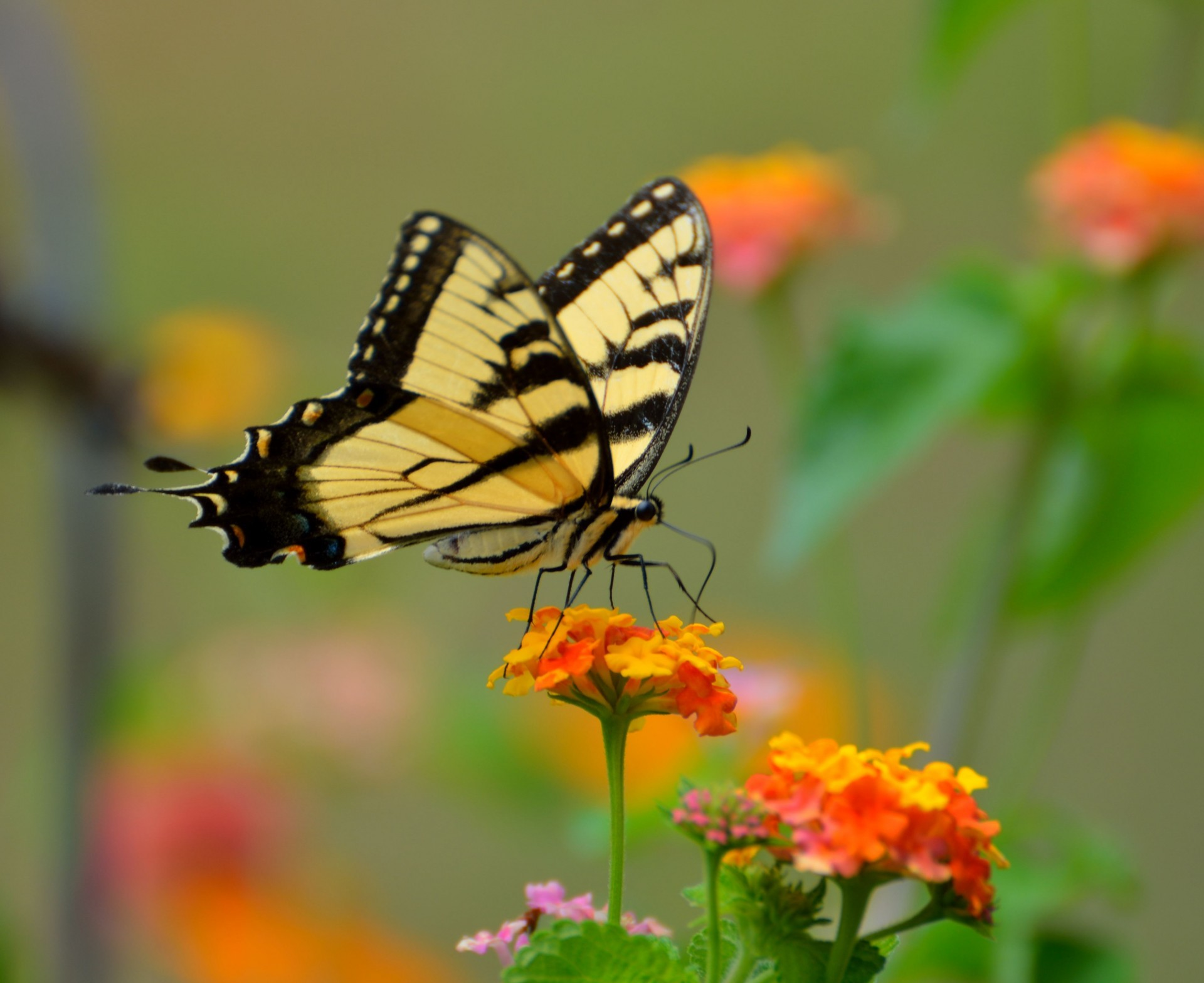 Swallowtail Butterfly on Lantana