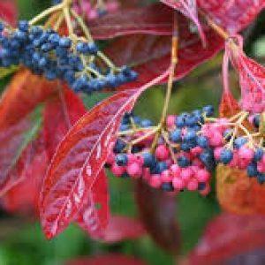 Brandywine Viburnum
