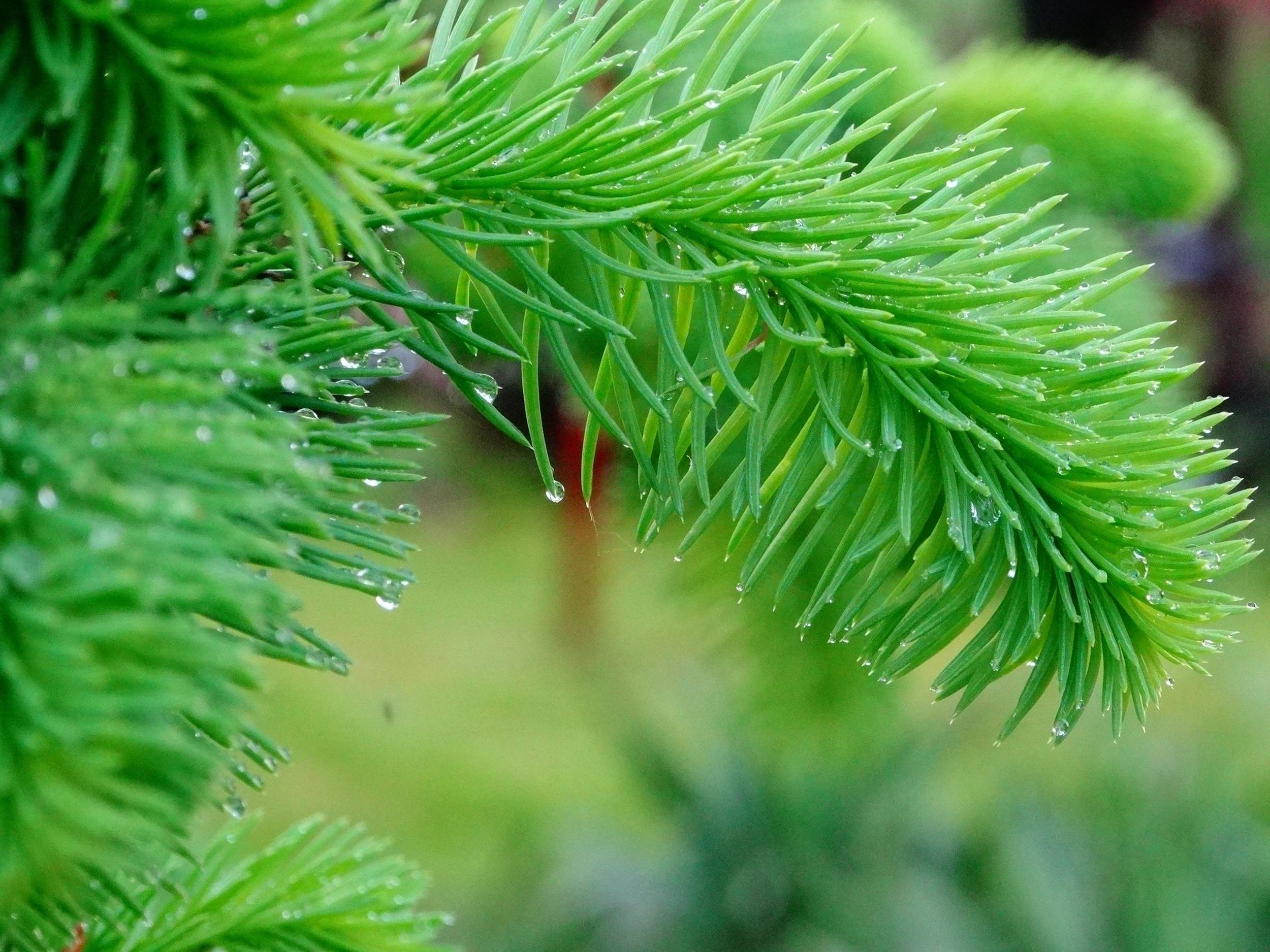 Pine Detail with Rain