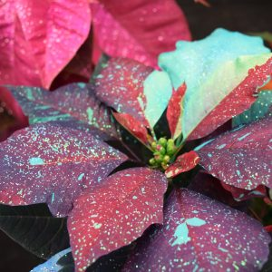 Painted And Glittered Poinsettia