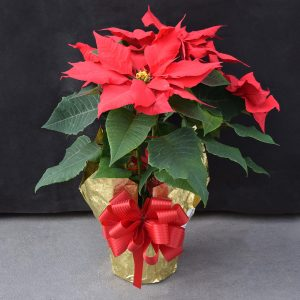 Gold Wrapped Red Poinsettia