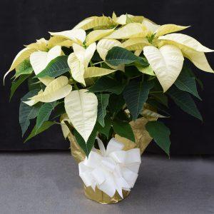 Gold Wrapped White Poinsettia