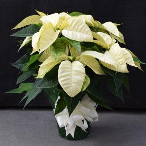 Green Wrapped White Poinsettia