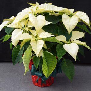 Red Wrapped White Poinsettia