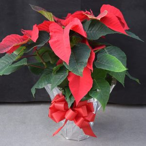 Silver Wrapped Red Poinsettia