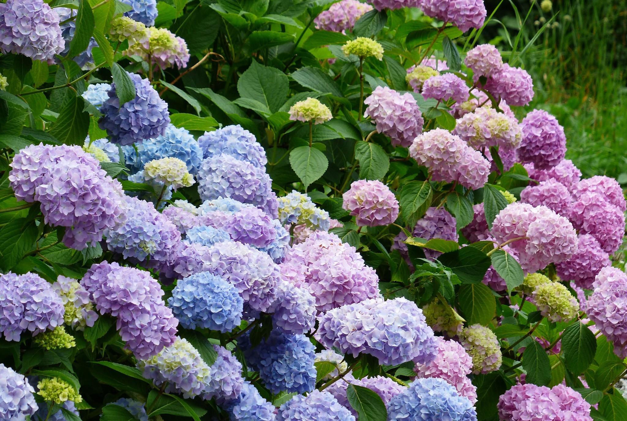 Pruning Hydrangeas WEB_JAN2020