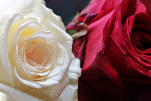 War of the Roses_WEB_APR2020