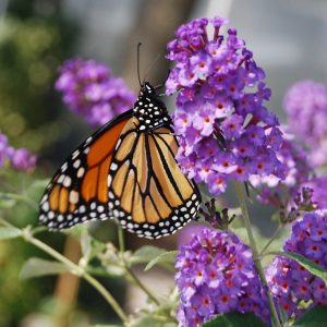 Perennials for Pollinator