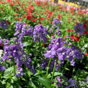Bedding Plants (Annuals)