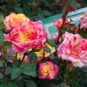 Climbing & Tree Roses