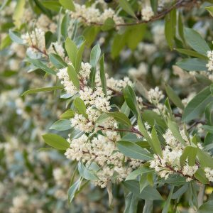 Other Evergreen Shrubs