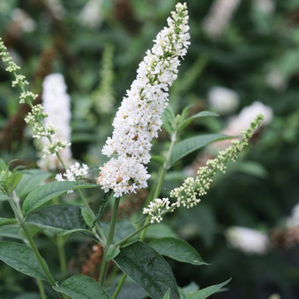 Butterfly Bush Category