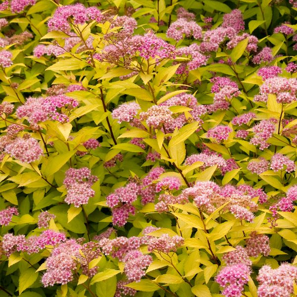 Spiraea Category